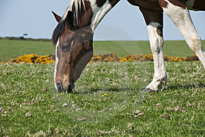 Horse Grazing Royalty Free Stock Photography - Image: 20007397