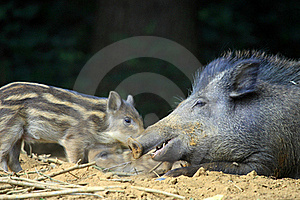 Boars Royalty Free Stock Images - Image: 20009689