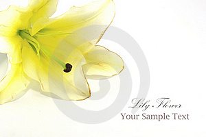 White Lily Isolated On White Royalty Free Stock Photography - Image: 20012917