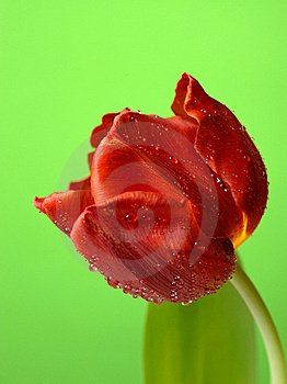 Beautiful Red Tulip Flower Stock Images - Image: 20014764