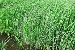 Rice Farm Royalty Free Stock Photography - Image: 20019057