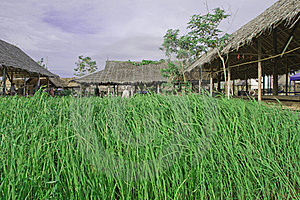 Rice Farm Stock Photo - Image: 20019190