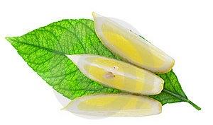 Slices Of A Lemon On Green Leaf Of A Lemon Tree Stock Photography - Image: 20022672