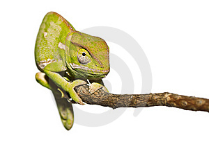 Isolated Chameleon Staring Stock Image - Image: 20023151