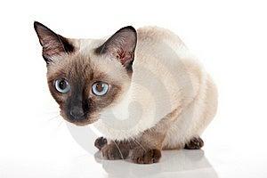 Siamese Kitten Crouching Royalty Free Stock Image - Image: 20025746
