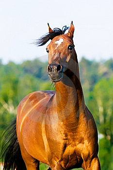Bay Arabian Horse Portrait In Motion Royalty Free Stock Images - Image: 20029059