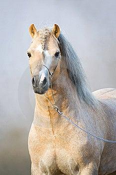Portrait Of Welsh Pony Stock Photos - Image: 20029063