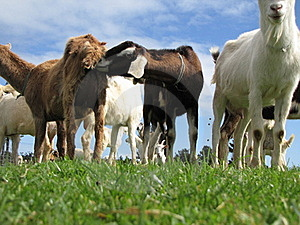 Rude Goats Stock Photos - Image: 20029733