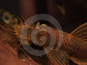 Red Ancistrus Catfish Royalty Free Stock Images - Image: 20030099