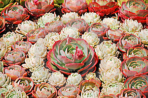 Pink Hens And Chicks Stock Photo - Image: 20037800