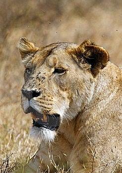 Ngorongoro Lion, With Flies Stock Photo - Image: 20045080