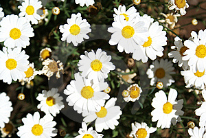 Daisies Stock Image - Image: 20054341