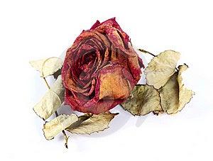 Séchez Rose Image libre de droits - Image: 20055846