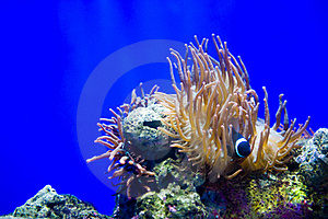 Clown Fishes And Sea Anemone Royalty Free Stock Image - Image: 20055946
