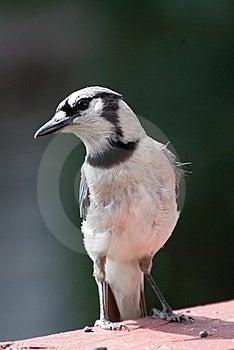 Blue Jay Stock Image - Image: 20056021