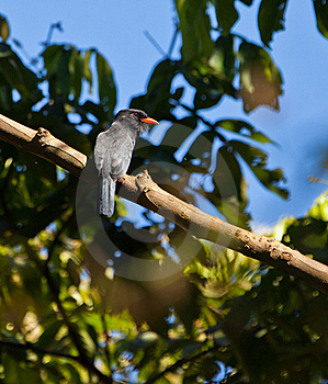 The Black-fronte Nunbird Royalty Free Stock Images - Image: 20057169