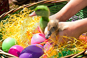 Easter Died Ducklings Royalty Free Stock Photos - Image: 20059998