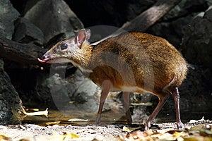 Barking Deer Stock Photos - Image: 20062963