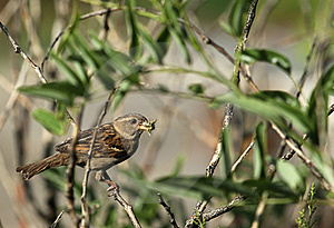 The Sparrow   Bird Royalty Free Stock Image - Image: 20071196