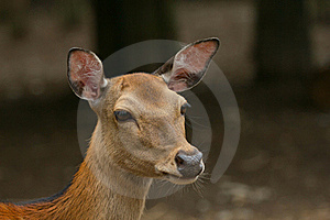 Portrait Of Sika Deer. Royalty Free Stock Photos - Image: 20078898