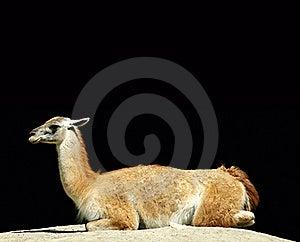 Lama Royalty Free Stock Photography - Image: 20086417