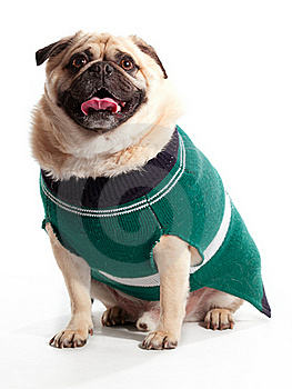 Sweater Pug Royalty Free Stock Images - Image: 20086699