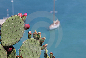 Cactus Plant At The French Riviera Royalty Free Stock Images - Image: 20094919