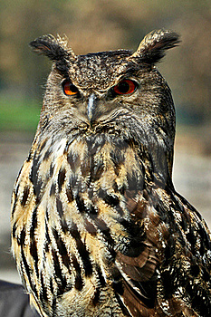 Great Horned Owl Royalty Free Stock Images - Image: 20096769