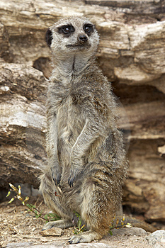 Meerkat Royalty Free Stock Photography - Image: 2010367