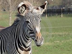 Grevy's Zebra Stock Photos - Image: 20100573