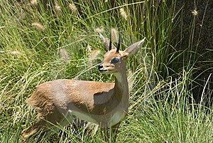 Southern Steenbok Stock Images - Image: 20103784