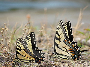 Butterflys Royalty Free Stock Image - Image: 20105476