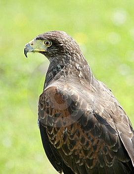 Harris Hawk Stock Photos - Image: 20106773