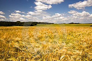 Field With Oats Royalty Free Stock Images - Image: 20107529