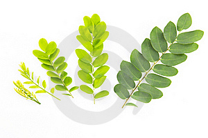 Growing Stages Of Leaves. Stock Photos - Image: 20114133