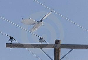 Snowy Owl Stock Image - Image: 20116281