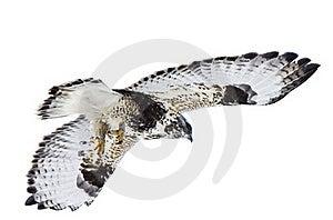 Rough Legged Hawk In Flight Royalty Free Stock Image - Image: 20116366
