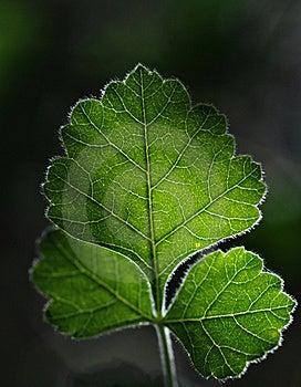 Backlit Oak Leaf Royalty Free Stock Image - Image: 20117576