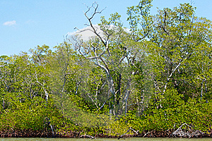 Mangroves And Trees On Canal Royalty Free Stock Photo - Image: 20118395