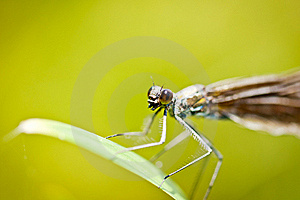 Damselfly Calopteryx Virgo Closeup Stock Images - Image: 20118654