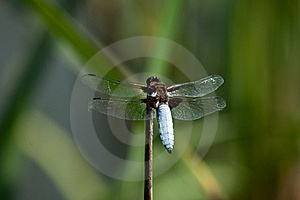 Dragonfly Libellula Depressa Stock Photo - Image: 20118680