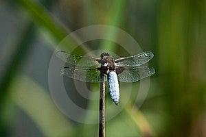 Dragonfly Libellula Depressa Stock Photo - Image: 20118680