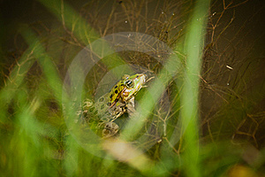 Green Leopard Frog Royalty Free Stock Photo - Image: 20118725