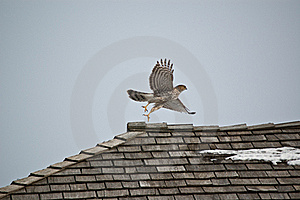 Cooper's Hawk Taking Off From A Roof Royalty Free Stock Photography - Image: 20120707