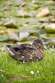 Stockente Duck Stock Photos - Image: 20121313