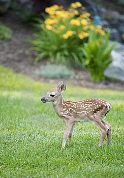 Spotted Fawn Stock Image - Image: 20124481