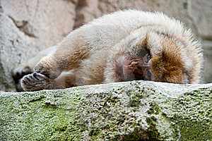 Barbary Ape Royalty Free Stock Images - Image: 20124759