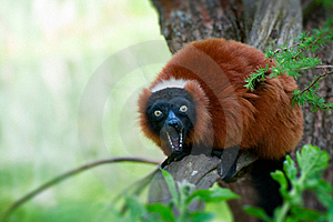 Red Ruffed Lemur Royalty Free Stock Image - Image: 20125116