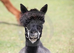 Portrait Of A Black Alpaca. Royalty Free Stock Photo - Image: 20125505