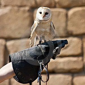 Barn Owl (Tyto Alba) Stock Photo - Image: 20130060